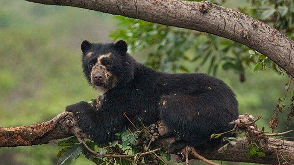 Spectacled Bear 3.jpg
