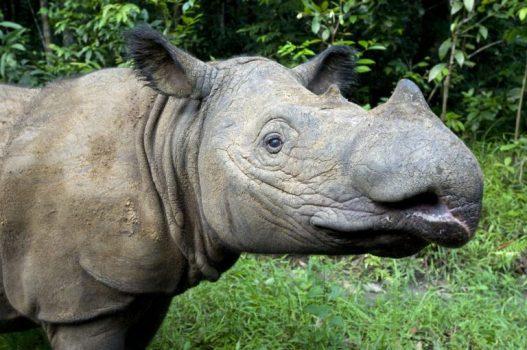 Sumatran Rhino 3.jpg