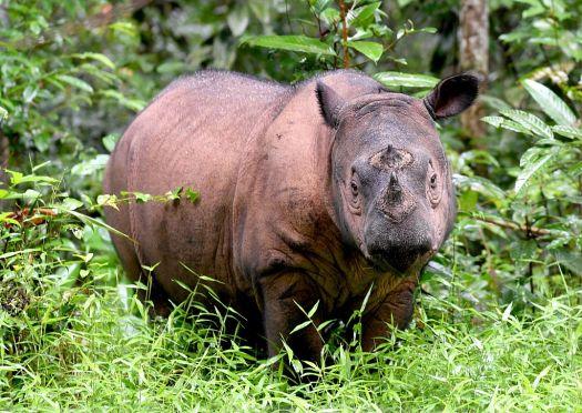 Sumatran Rhino.jpg