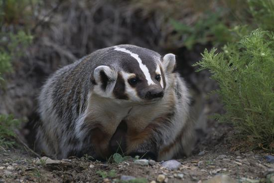 American Badger 2.jpg