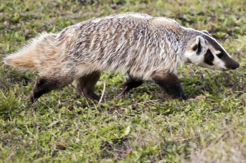 American Badger 3.jpg
