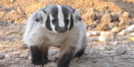 American Badger.jpg