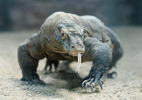 Komodo Dragon.jpg