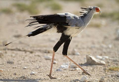 Secretary Bird 2.jpg