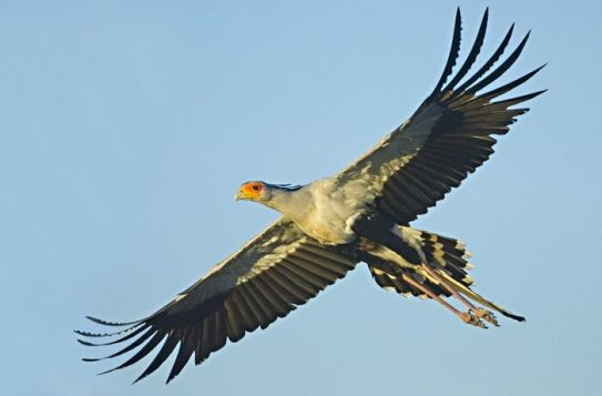Secretary Bird 3.jpg