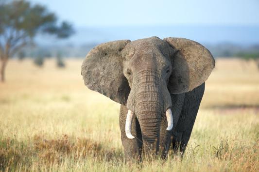 African Elephant.jpg